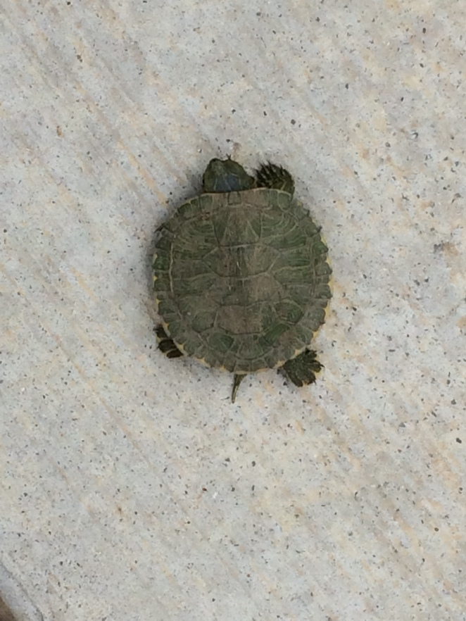 Web Footed Baby Turtle